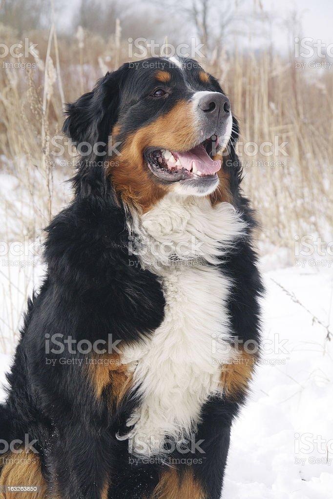 dog sitting at dry reed royalty-free stock photo