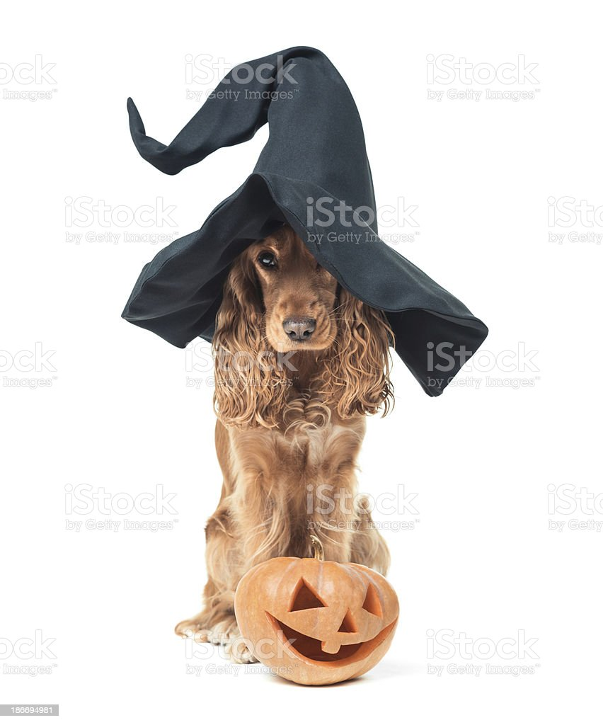 dog sitting in a witches hat and looks impressive royalty-free stock photo