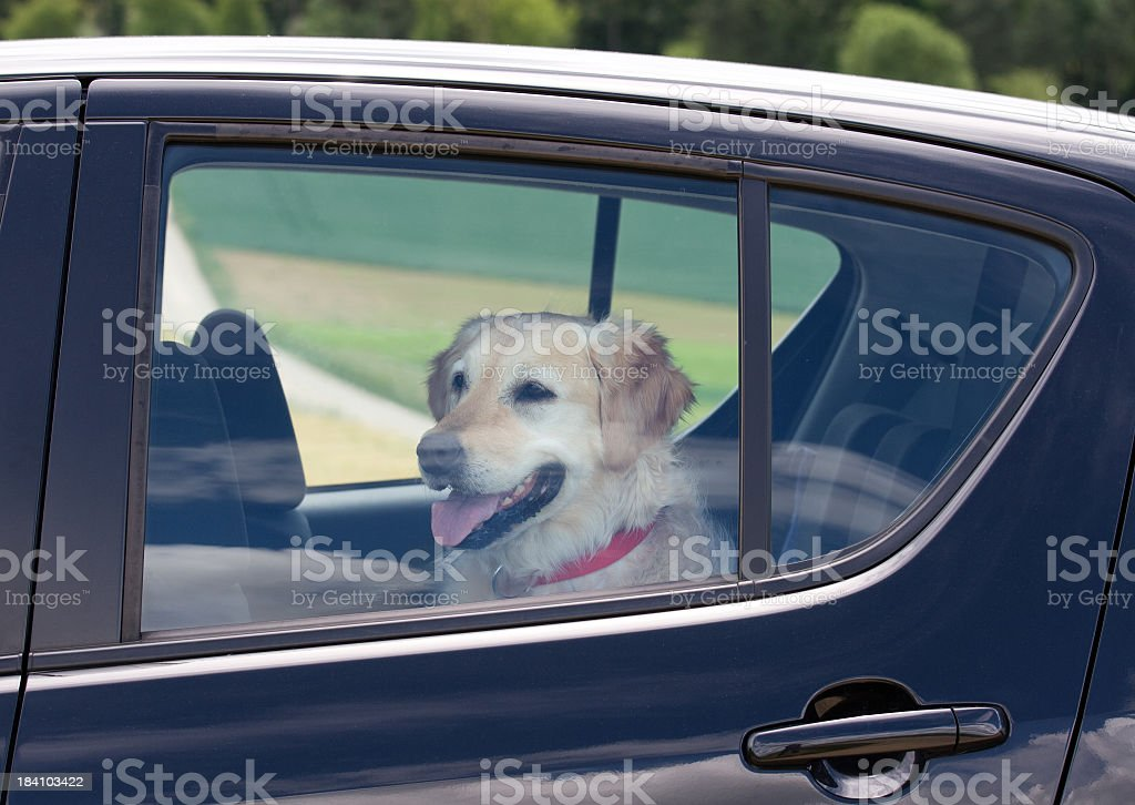 Dog sitting in the back seat of a black car stock photo