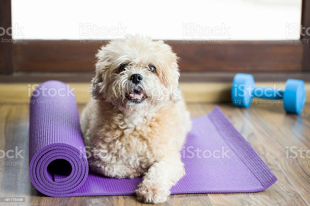 Dog sitting on a yoga mat stock photo