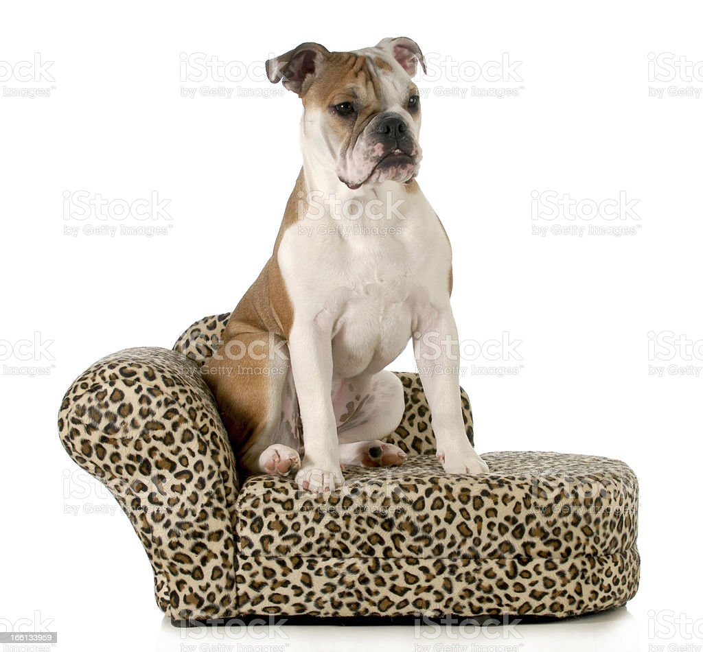 dog sitting on couch royalty-free stock photo