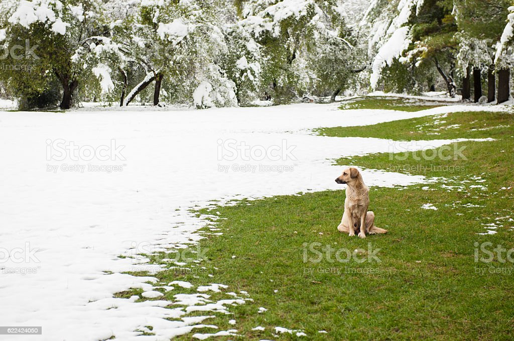 dog sitting on green grass in   park covered with snow stock photo
