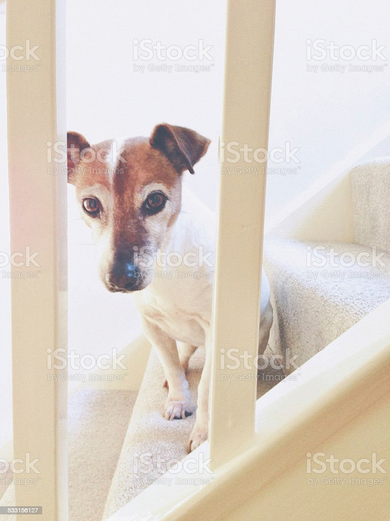Dog sitting on stairs looking through the railing stock photo