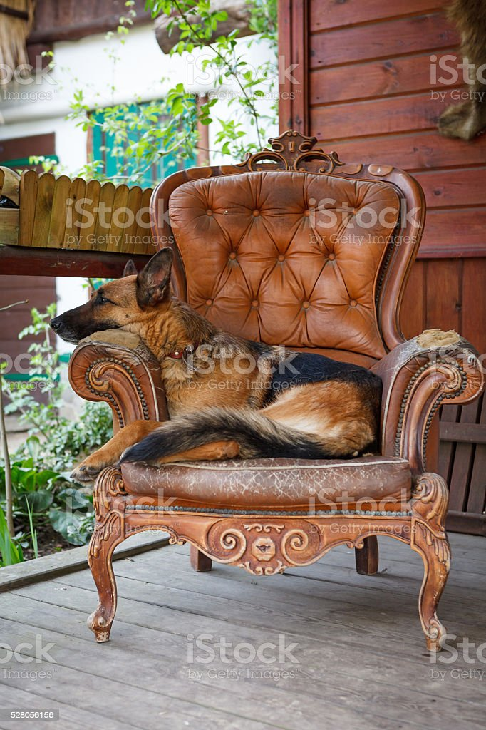 Dog sitting on the armchair stock photo