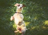 Dog sitting straight on rear paws