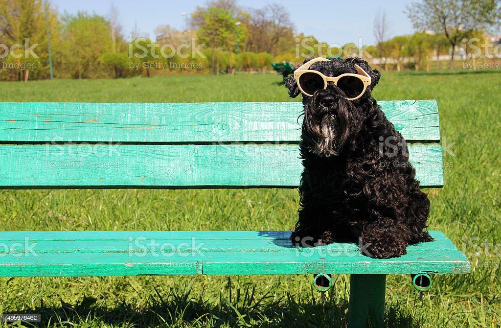 Dog sitting with sunglasses stock photo