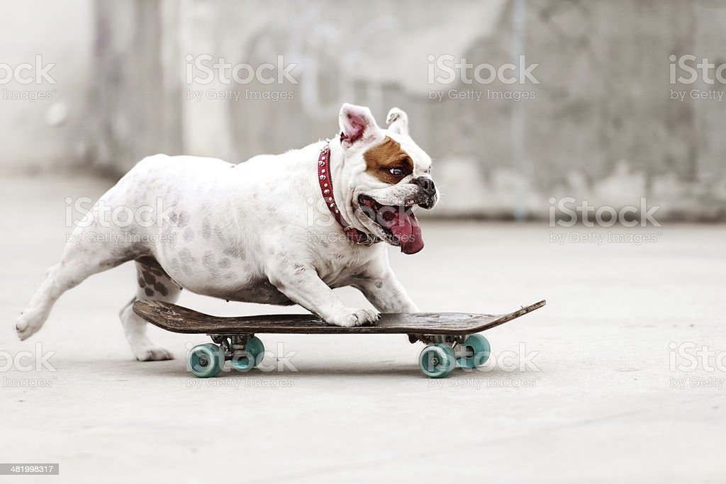 Dog skateboarding stock photo