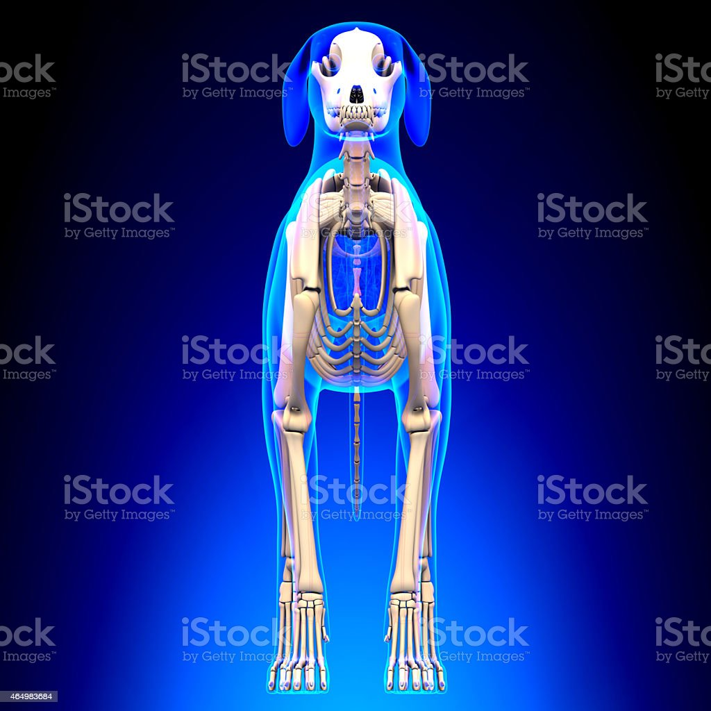 Dog Skeleton - Canis Lupus Familiaris Anatomy - front view stock photo