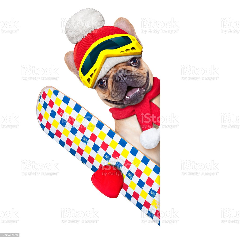 fawn french bulldog dog with ski equipment, wearing goggles , gloves...
