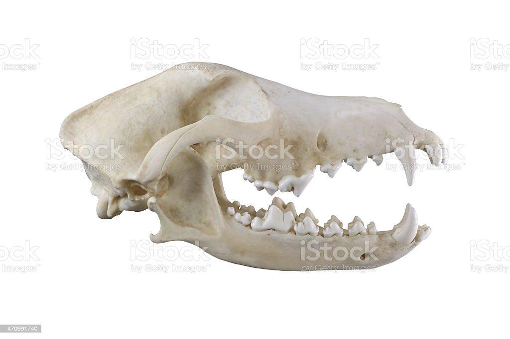 Dog skull  isolated on a white background stock photo