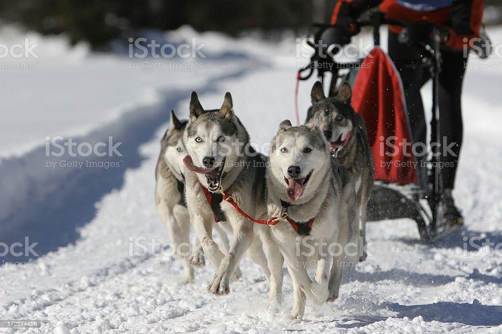 Dog sled competition stock photo