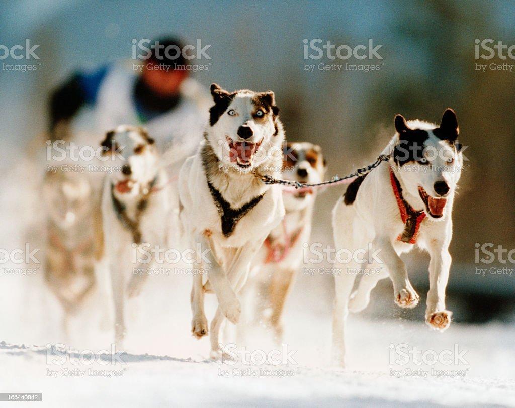 Dog Sled Race stock photo