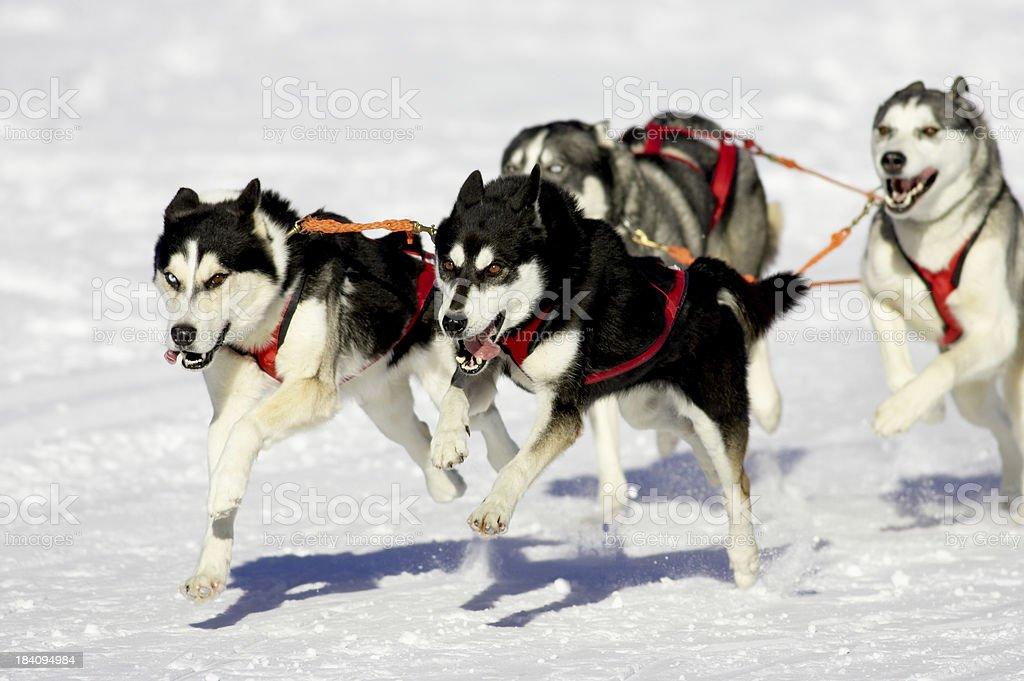 Dog sled race royalty-free stock photo