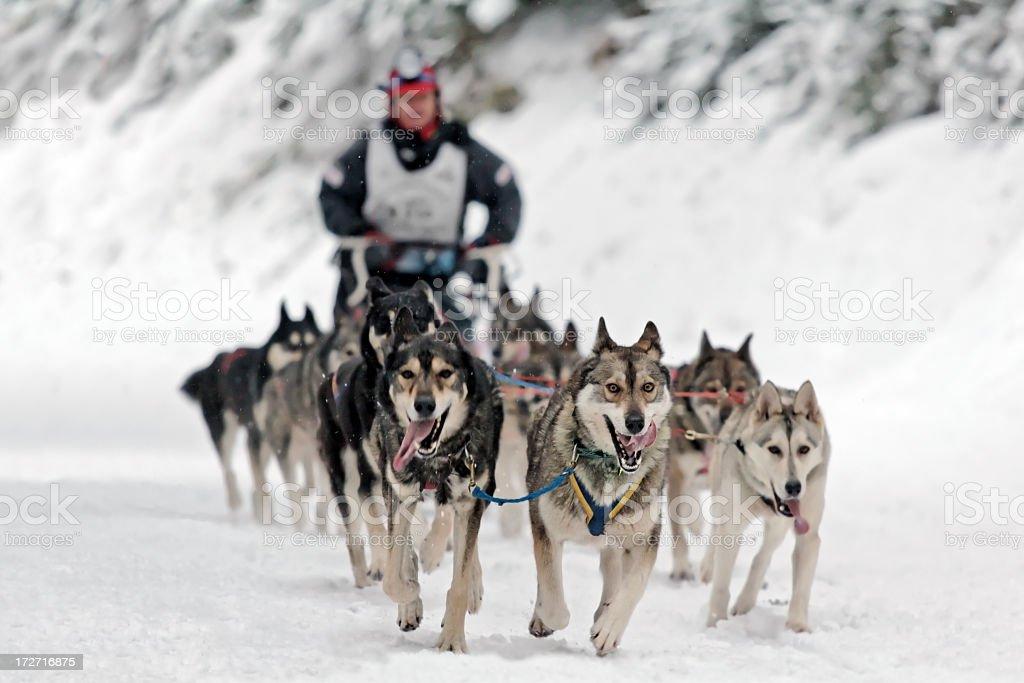 Dog sledding competition stock photo