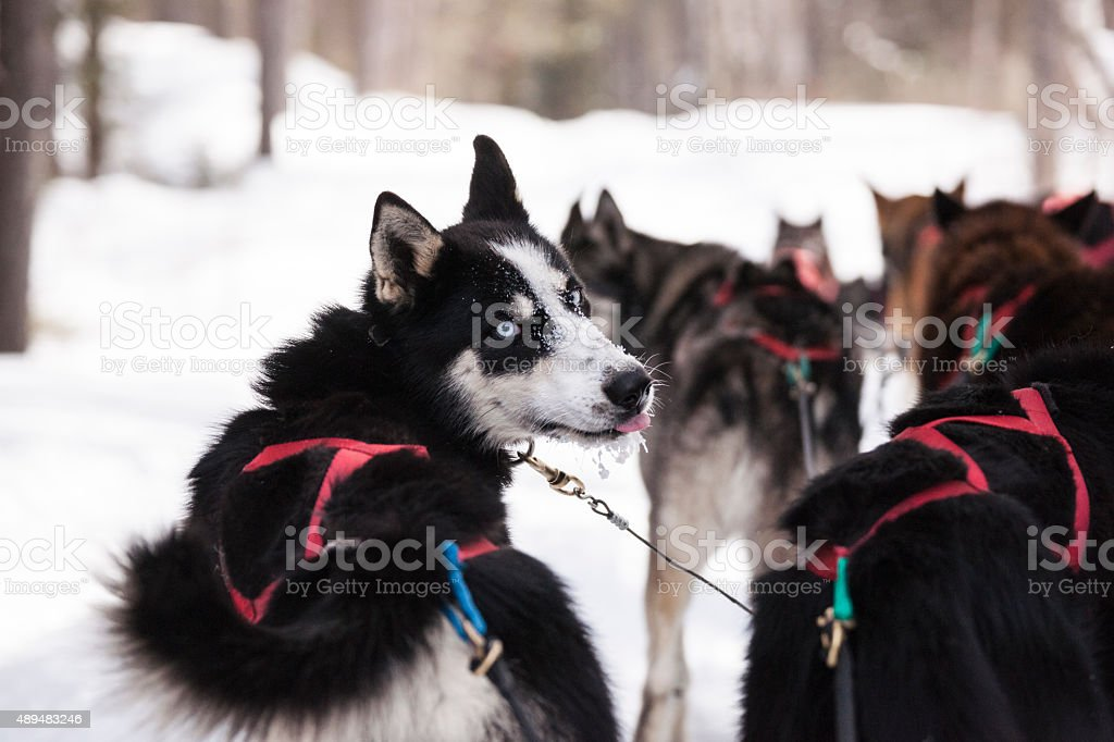 Dog sledding huskies stock photo