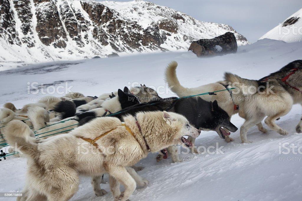 Dog sledding in Greenland stock photo