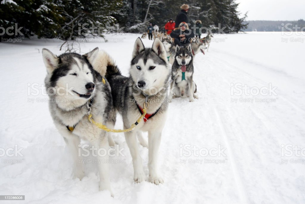 Dog Sledding royalty-free stock photo