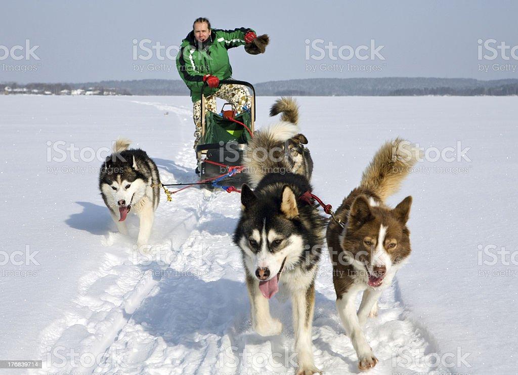 dog sledding royalty-free stock photo
