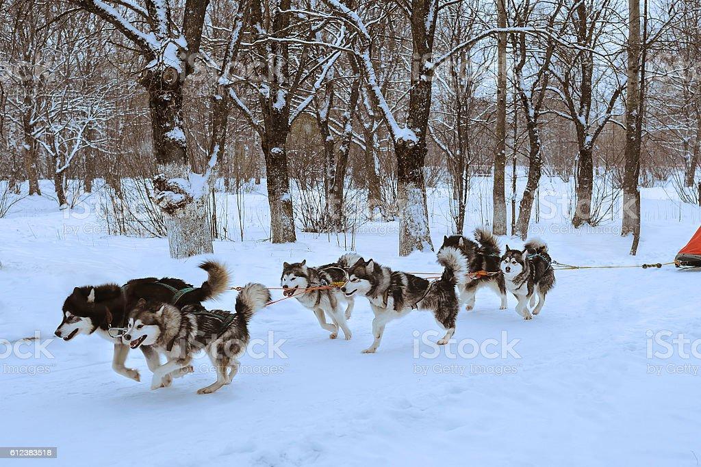 dog sledding race stock photo