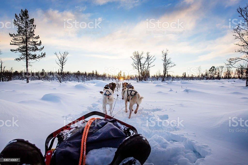 Dog sledding with huskies in beautiful sunset stock photo