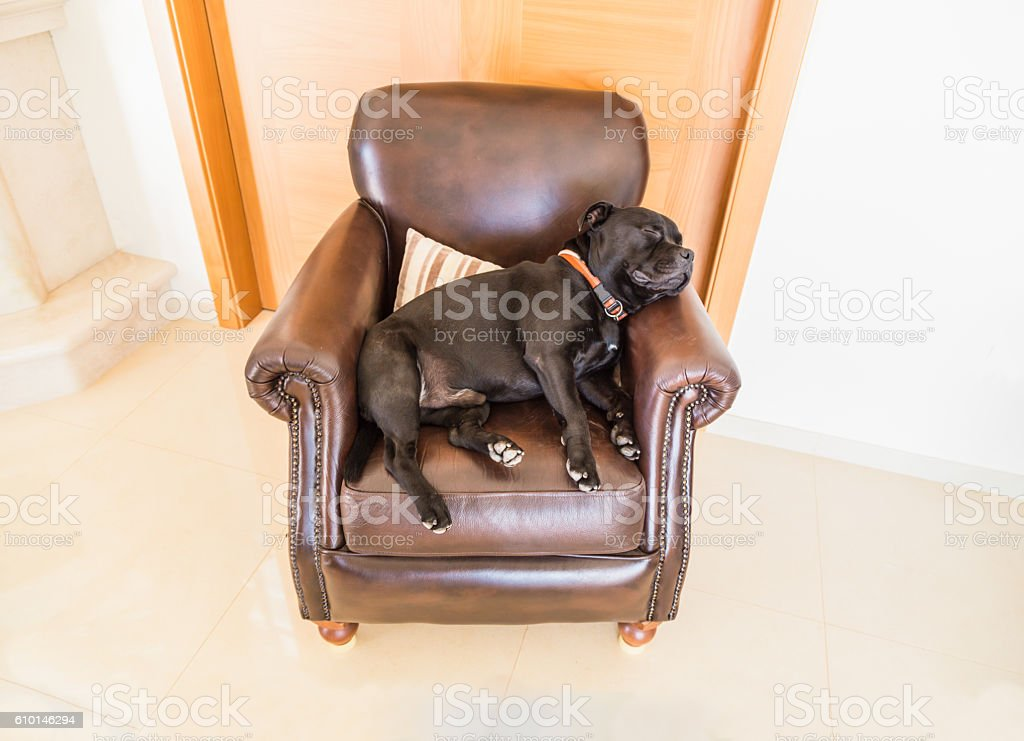 Dog sleeping on a brown leather chair. stock photo