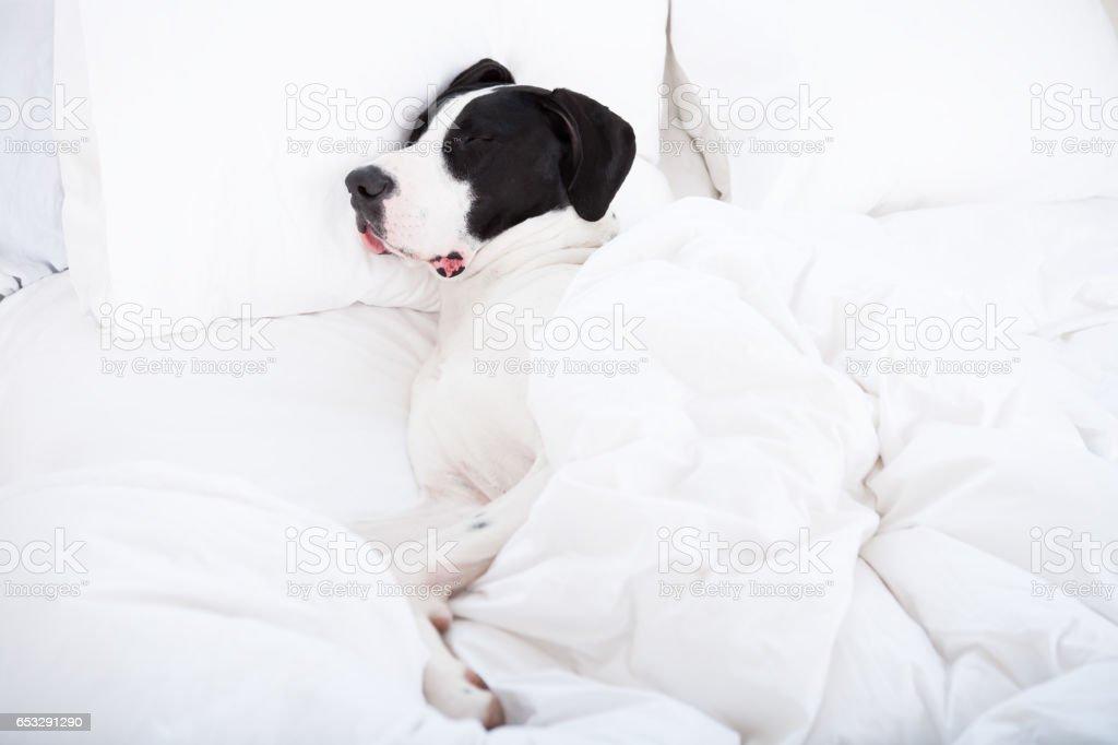 Dog sleeping under duvet cover stock photo