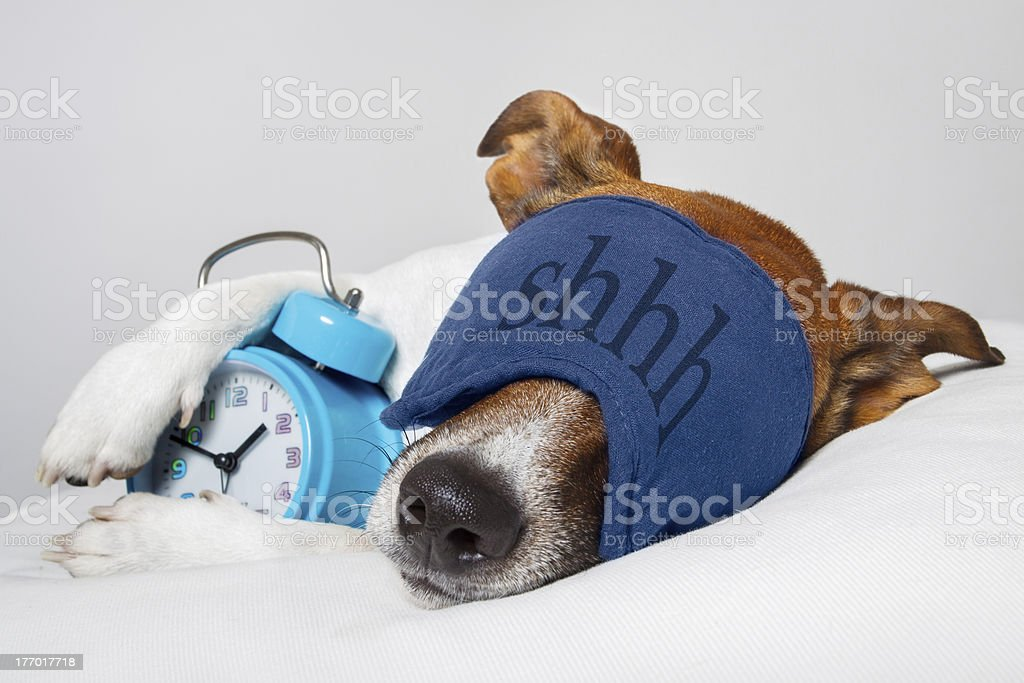 Dog sleeping with alarm clock stock photo