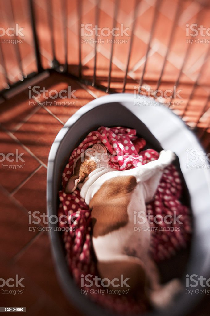 dog sleeps in her basket in a cage at home stock photo