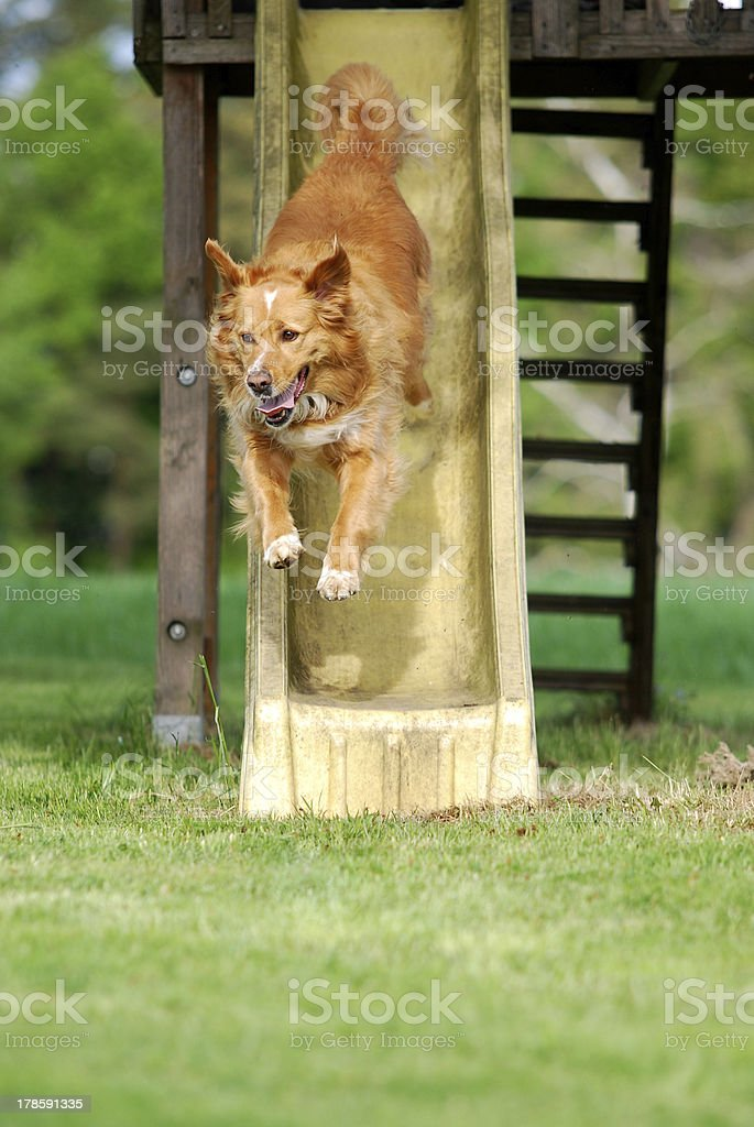 dog slipping down a slide royalty-free stock photo
