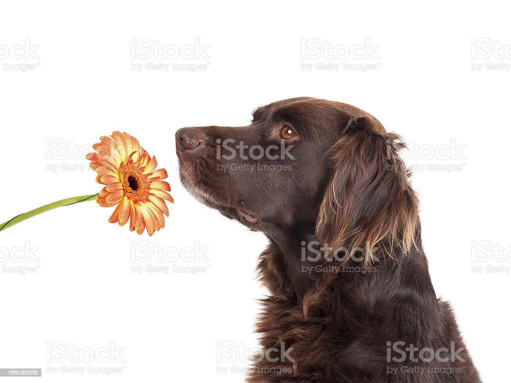 Dog smelling a flower stock photo