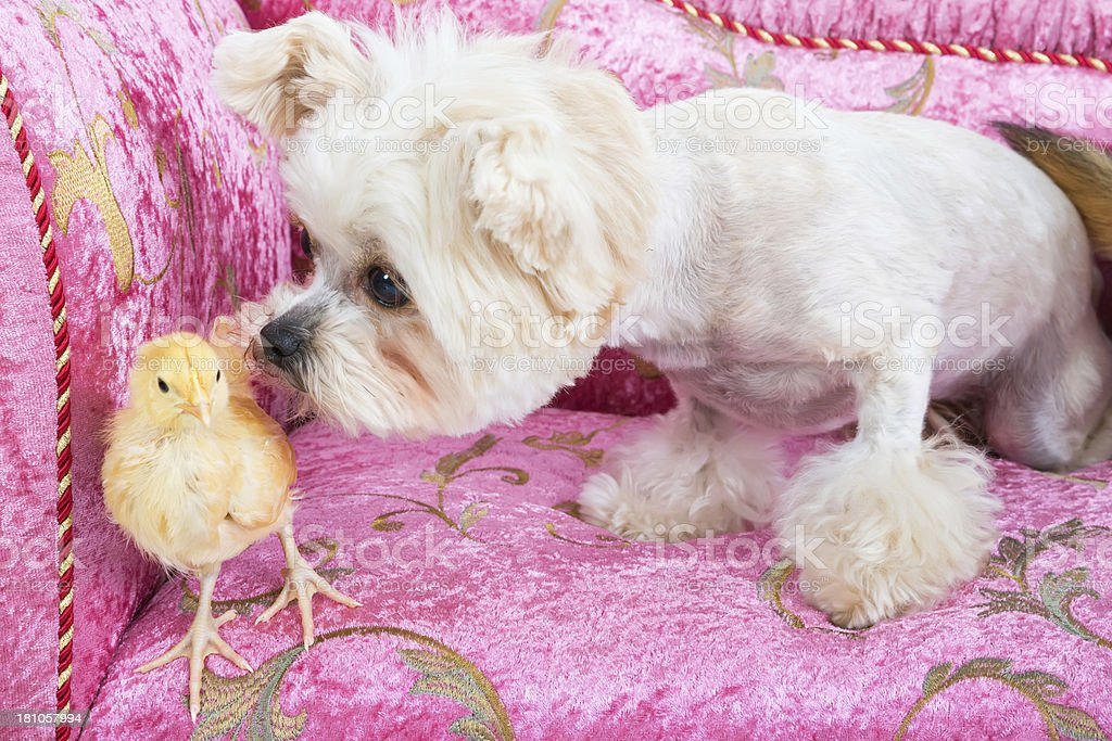 Dog sniffing a chick . royalty-free stock photo
