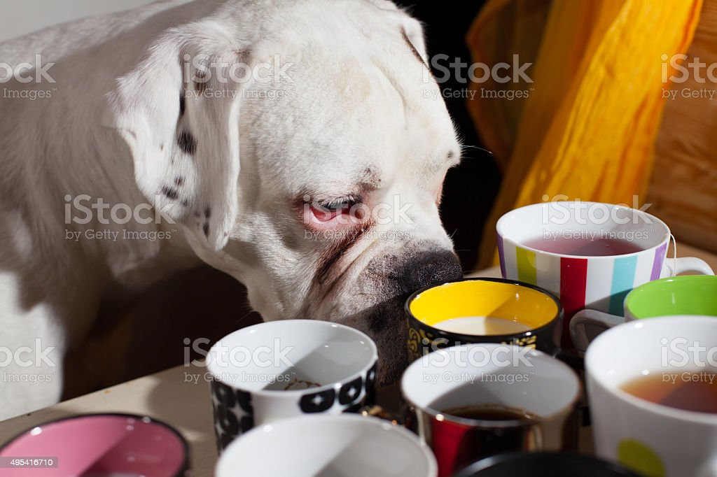 dog sniffing drink in cups stock photo