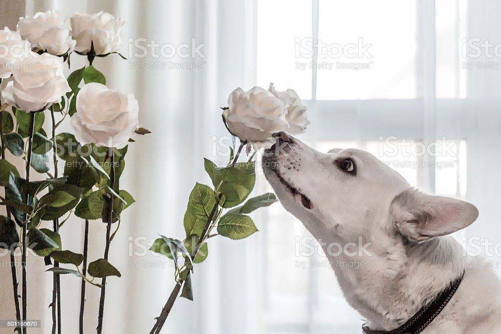 dog sniffing flowers stock photo