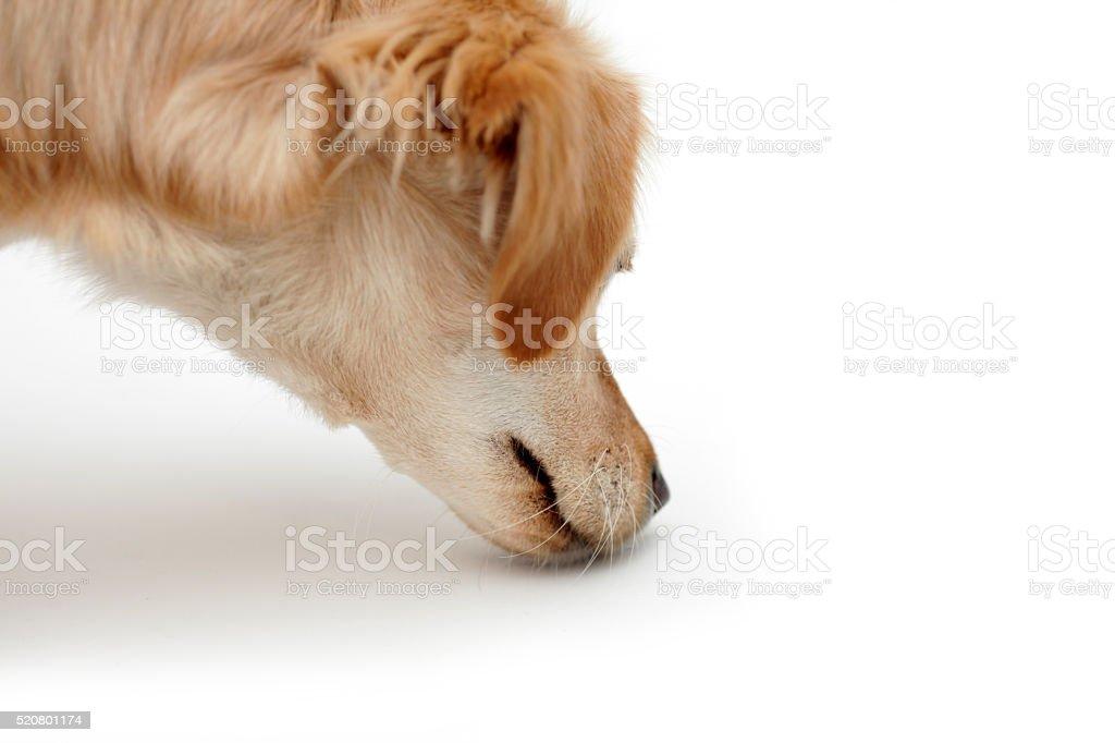 Dog sniffing, isolated on white background stock photo