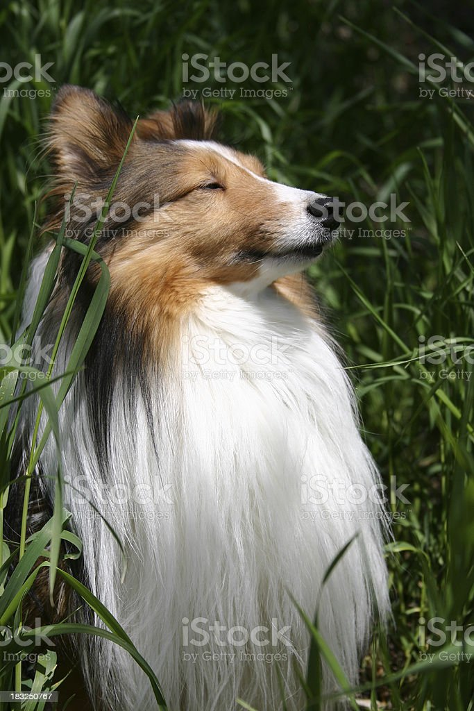 Dog Sniffing the Wind royalty-free stock photo