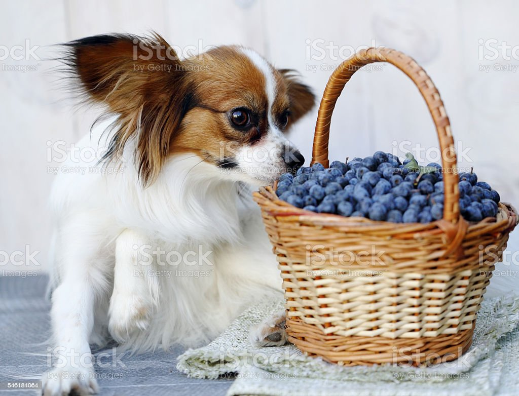 dog sniffs berries stock photo