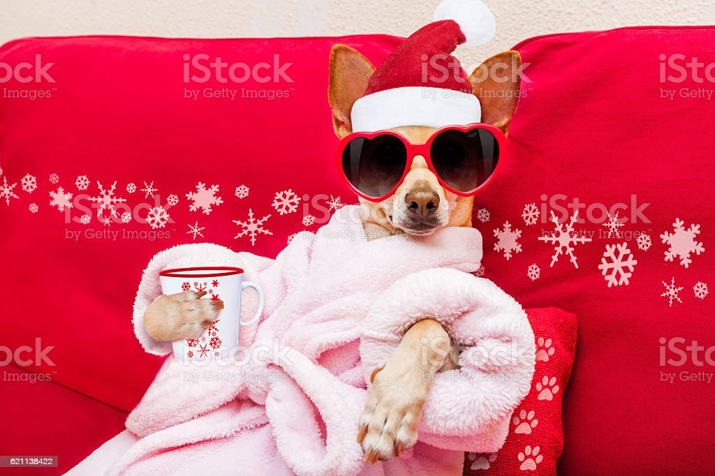 chihuahua dog relaxing and lying, in spa wellness center ,wearing a...