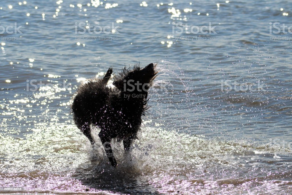 Dog splashing in the sea stock photo
