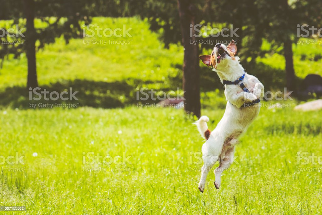 Dog springs into action jumping at park lawn at hot summer day stock photo