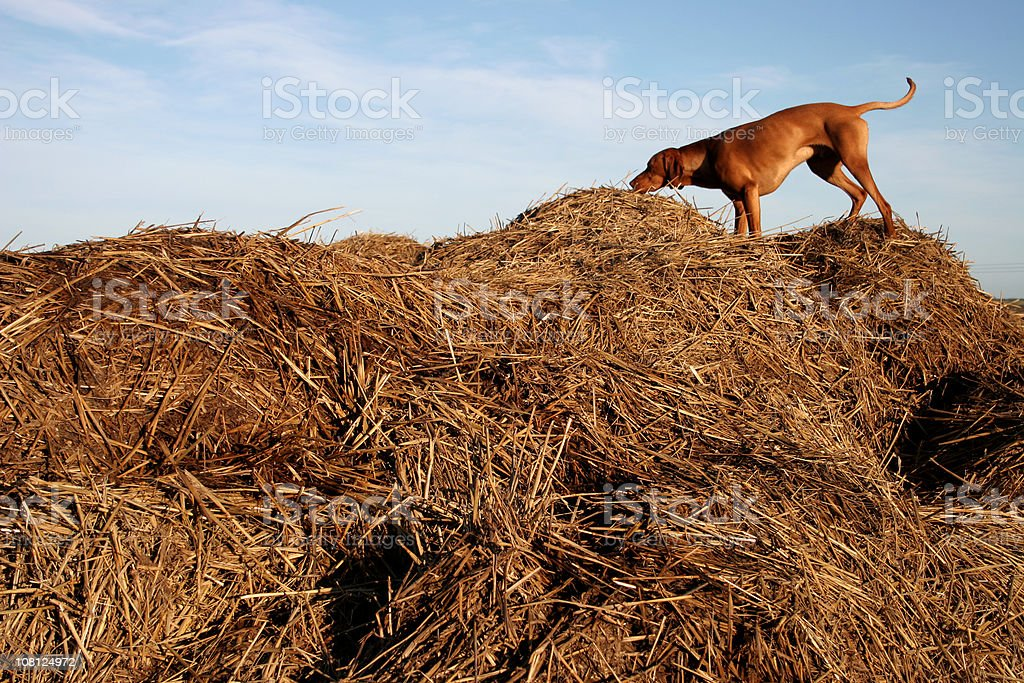 Dog Standing and Sniffing Large Pile of Hay stock photo