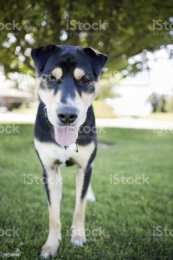 Dog Standing in the grass royalty-free stock photo