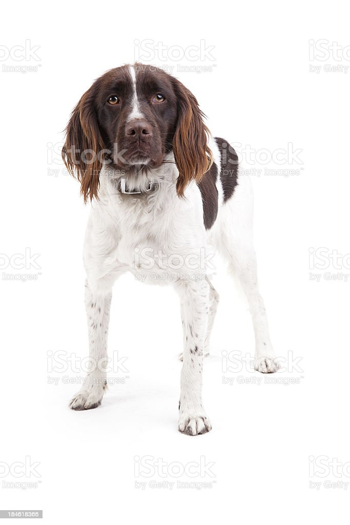 dog standing on white background stock photo