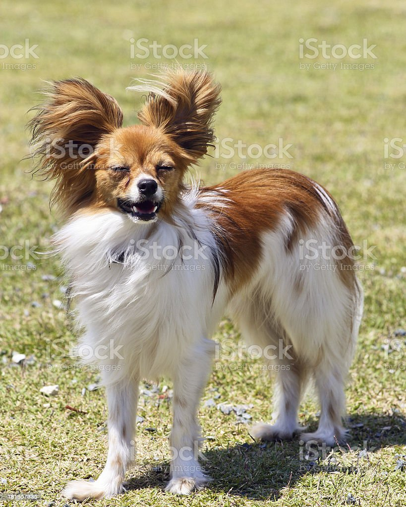 dog standing royalty-free stock photo