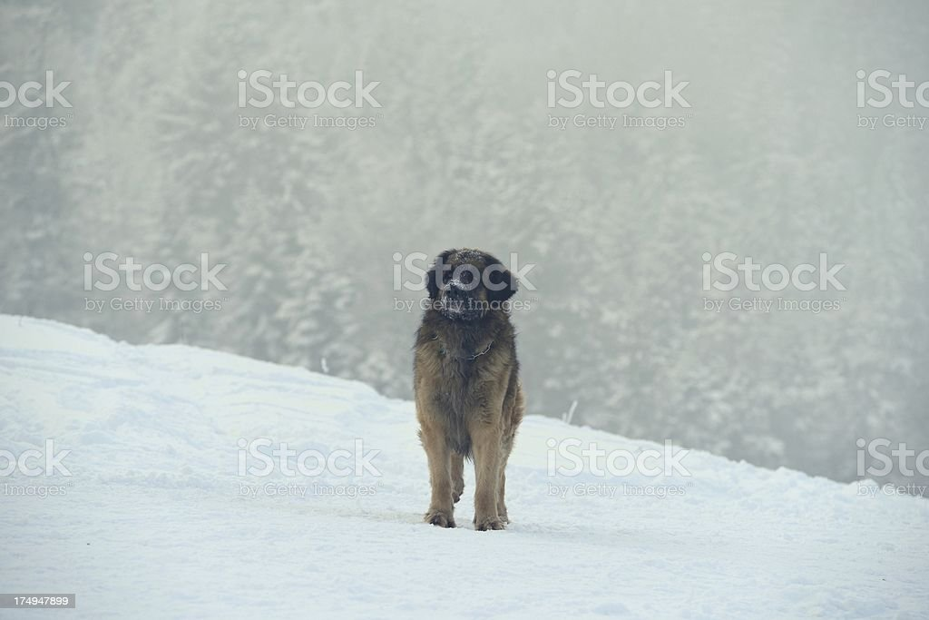 Dog standing still in snow royalty-free stock photo
