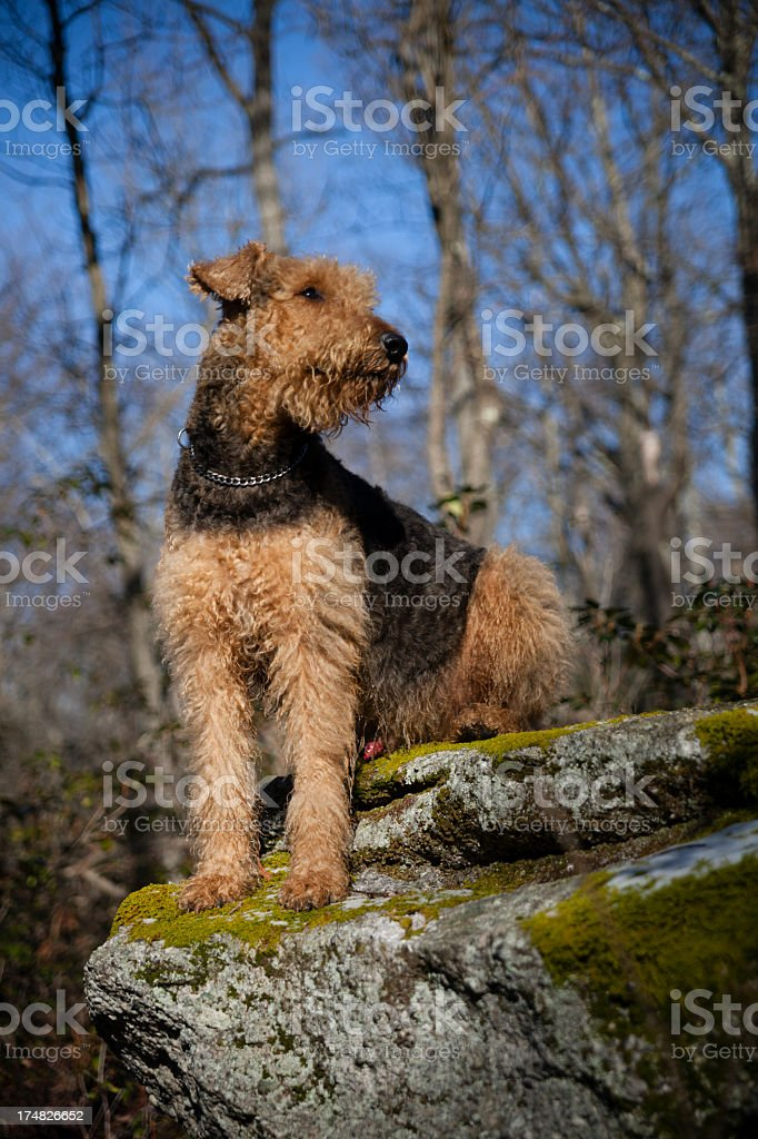 Dog stands on the big rock stock photo