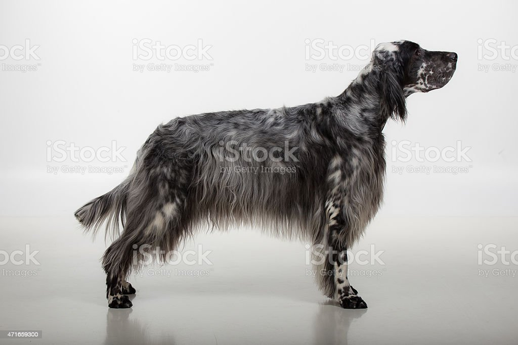 Dog stands stock photo
