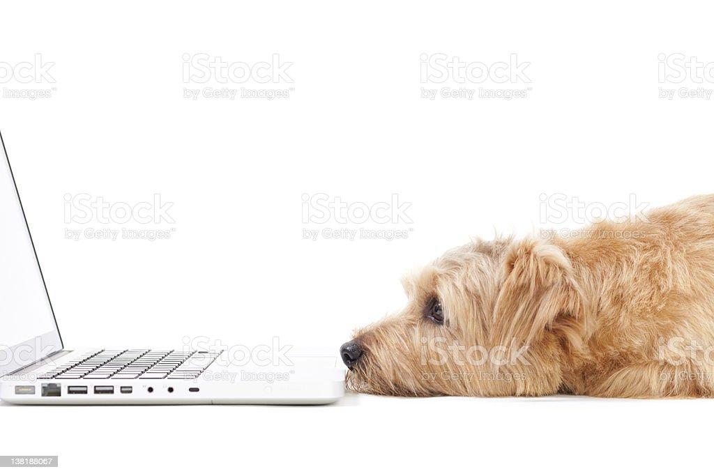 A dog staring at a computer's screen  stock photo