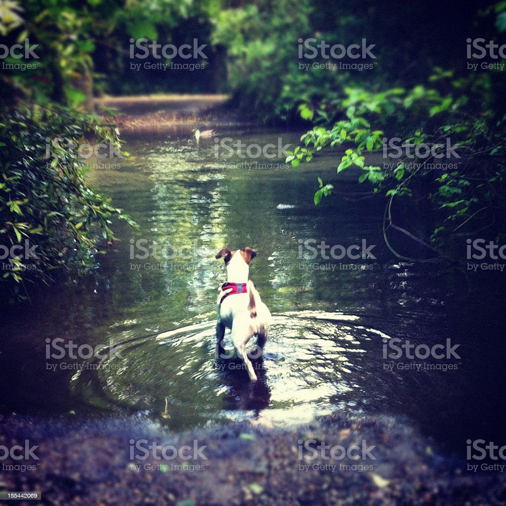 Dog staring at a duck in disctance stock photo