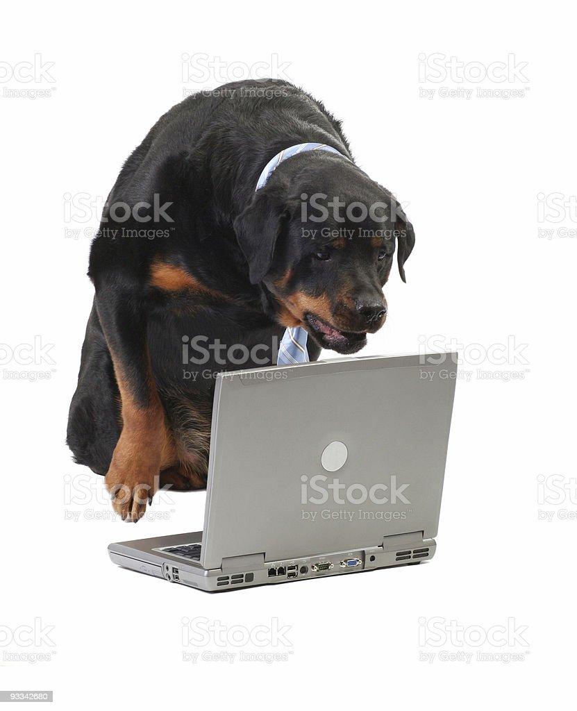 dog staring at the computer royalty-free stock photo