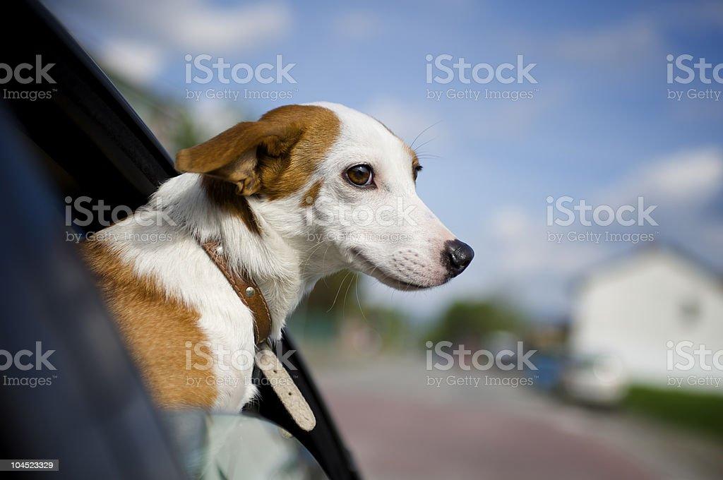 Cão de colocar sua cabeça para fora da janela de carro foto royalty-free